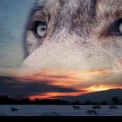 БЕДУИН-ешьте её о волки