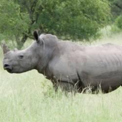 Suvorov-Льды тают Белый носорог